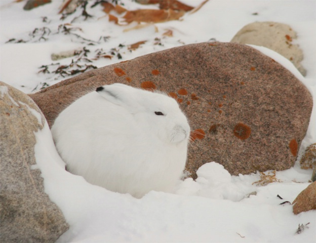 Artic Hare in profile.