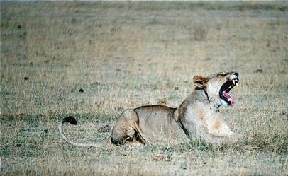 Lioness Roaring