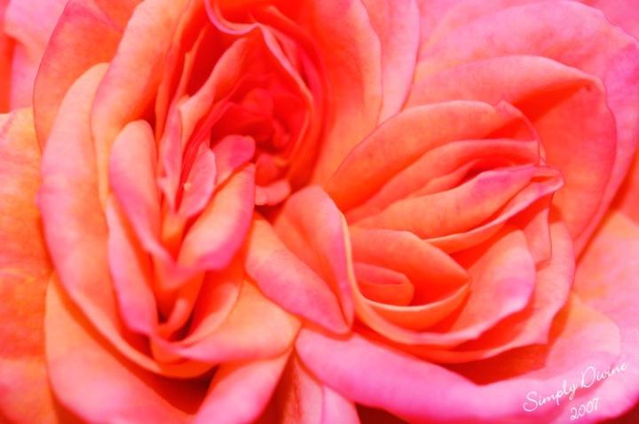 I Love Roses...