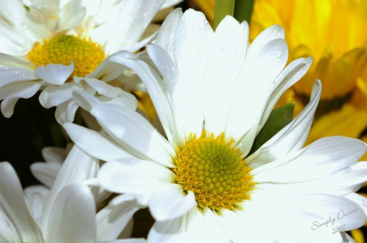 More Daisies From My Friends!