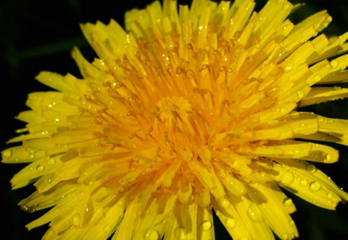 Are Dandelions Really Weeds?