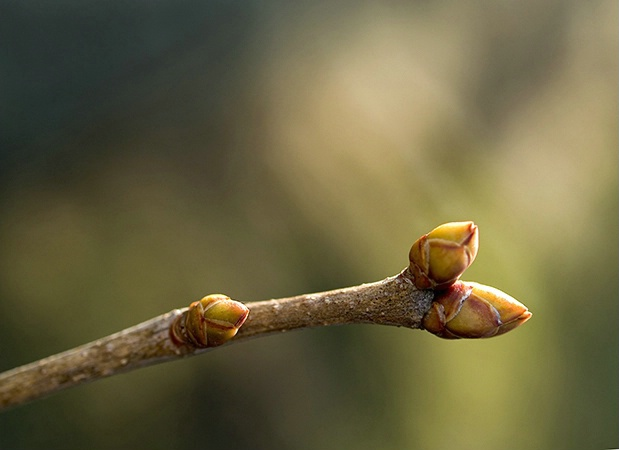 Sunlight On Lilac Leaf Bud