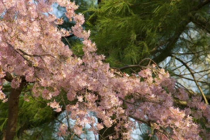 Dogwood against Cedars