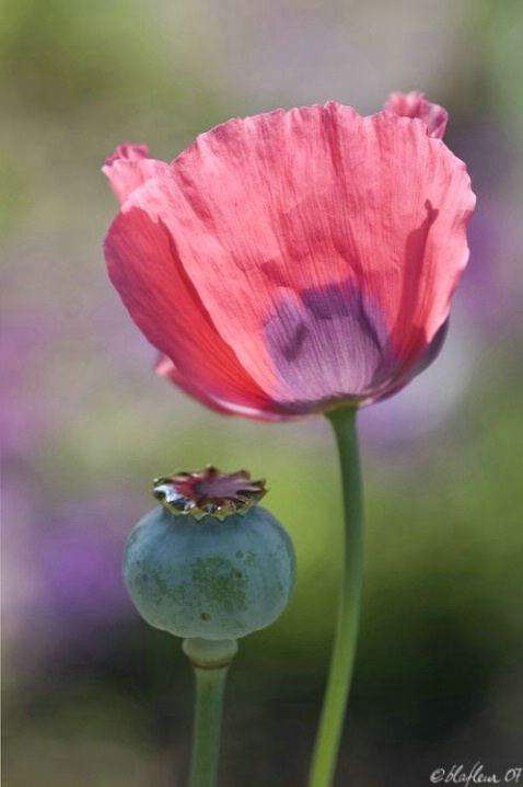 Poppy and Bud
