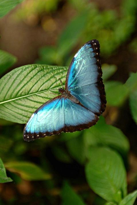 W6 Blue Morpho Butterfly