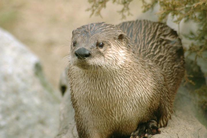 W7 Otter