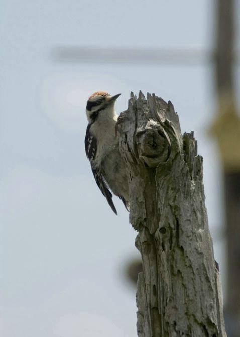 W8 Downey Woodpecker