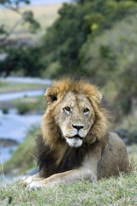 Lion and Mara River