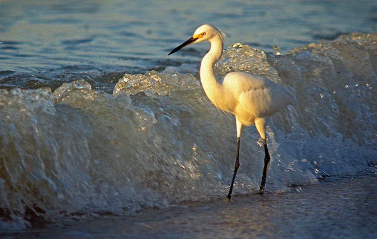 Egret at Sanibel