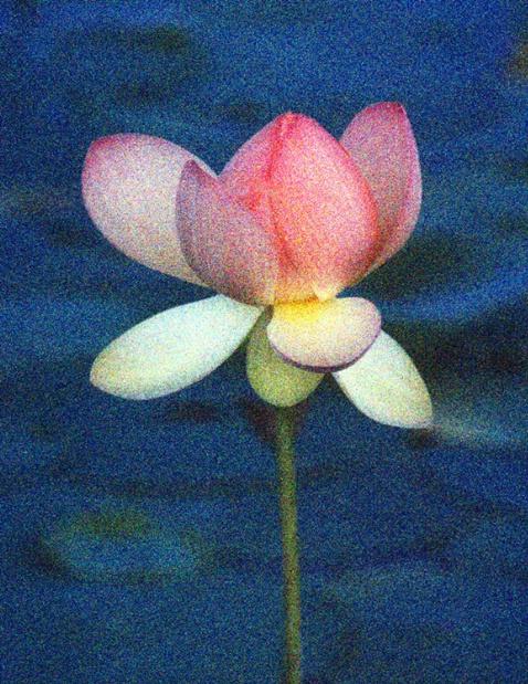 American Lotus in Grain
