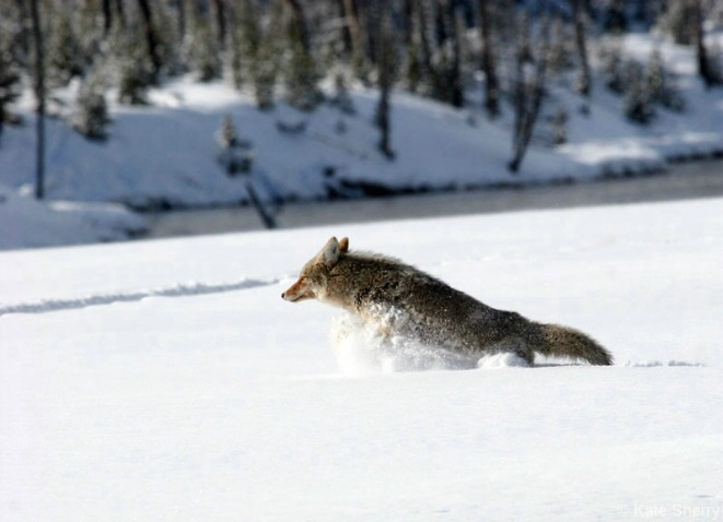 Coyote leaping to safety