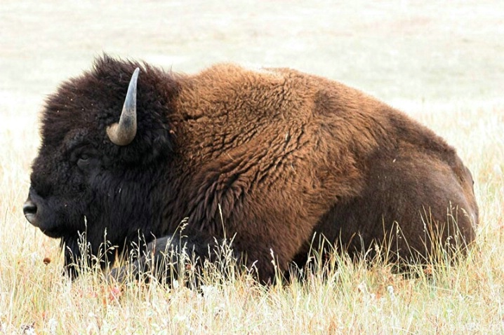 Bison resting in the afternoon sun