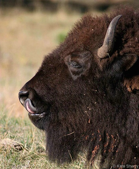 bison_tongue