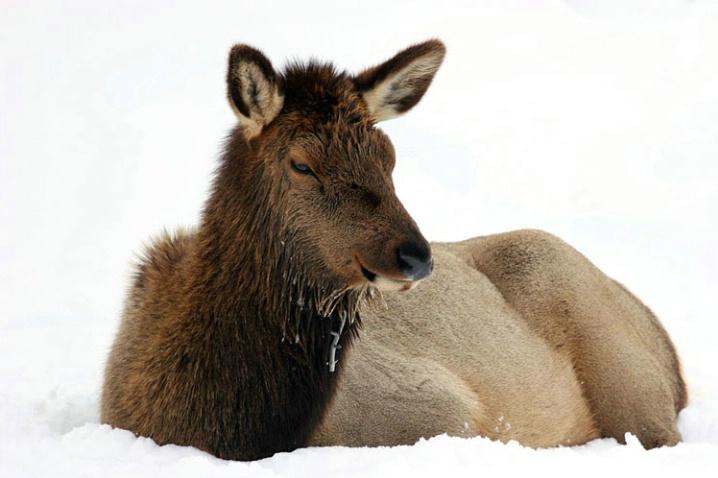 cold_elk