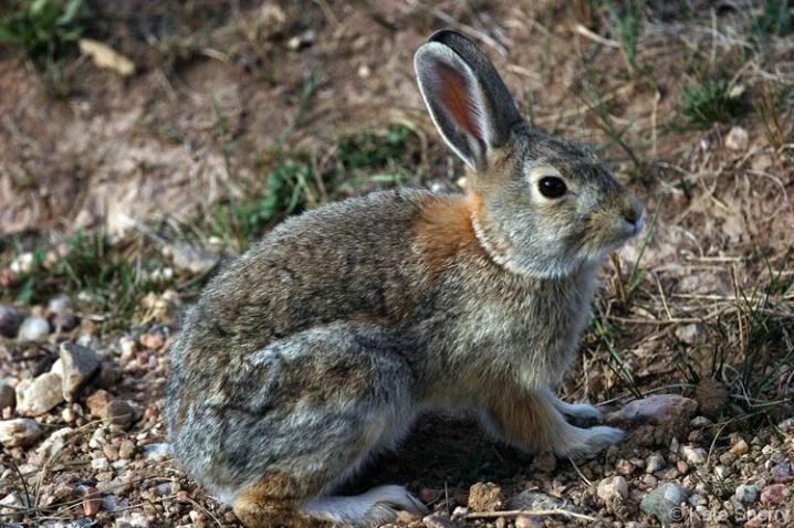 prairie rabbit