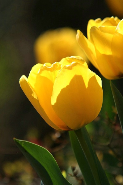 Golden Tulips 1