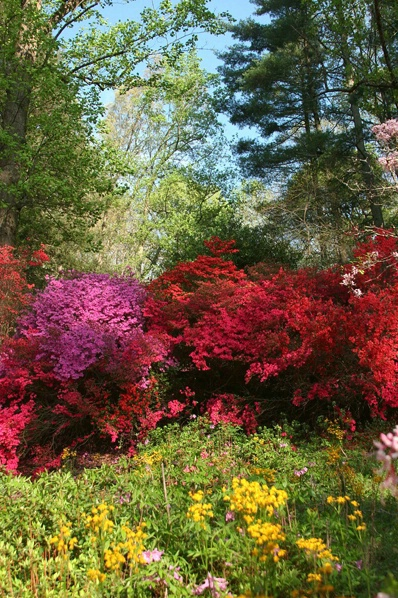 Azaleas at the Biltmore