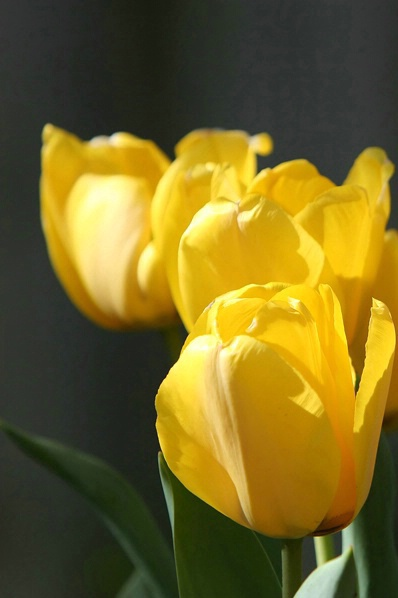 Golden Tulips 2