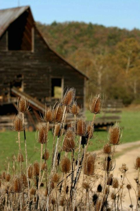 Fall Thistles
