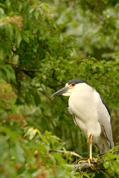 Black-Crowned Night Heron 1
