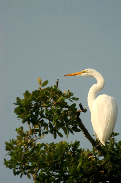 Egret at Rest 2