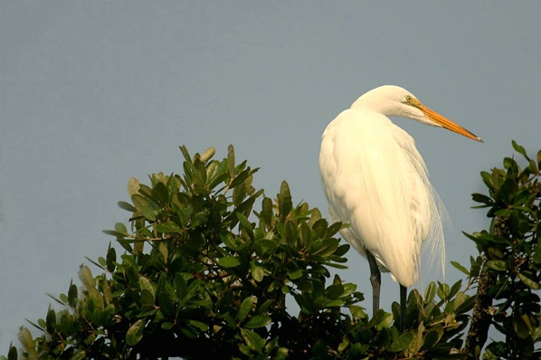 Egret  at Rest 1