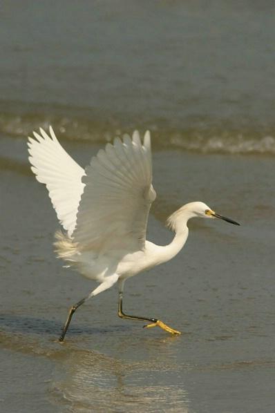 Egret 2 - Beach