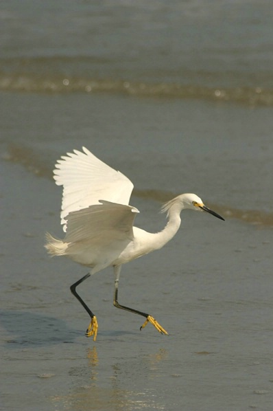 Egret 1 - Beach