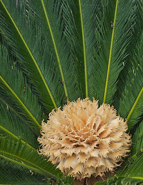 Flowering Sago Palm