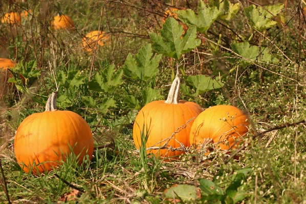 Pumpkins for the Picking