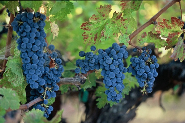 Cabernet Sauvignon Grapes (fill flash)