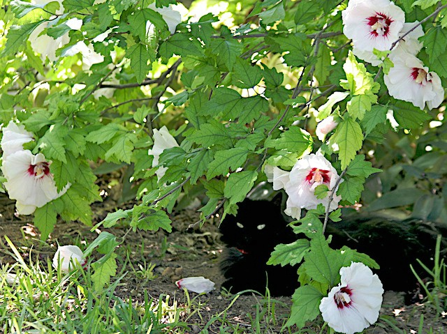 Hiding in the Hibiscus