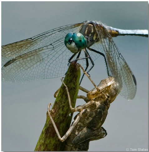 Dragonfly and Nymph