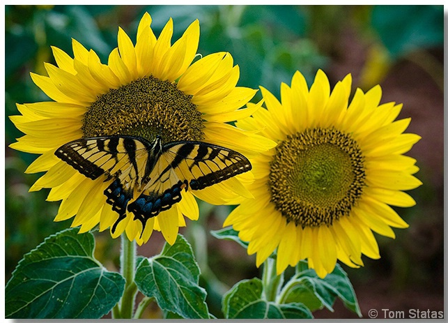 Swallowtail and Sunflowers