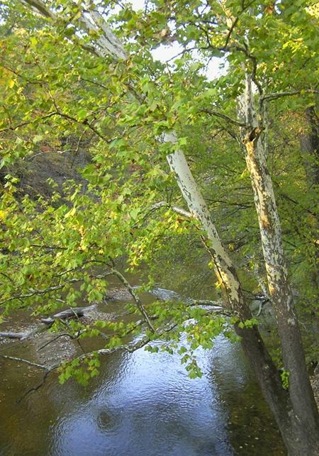 Sycamore Over Deer Creek