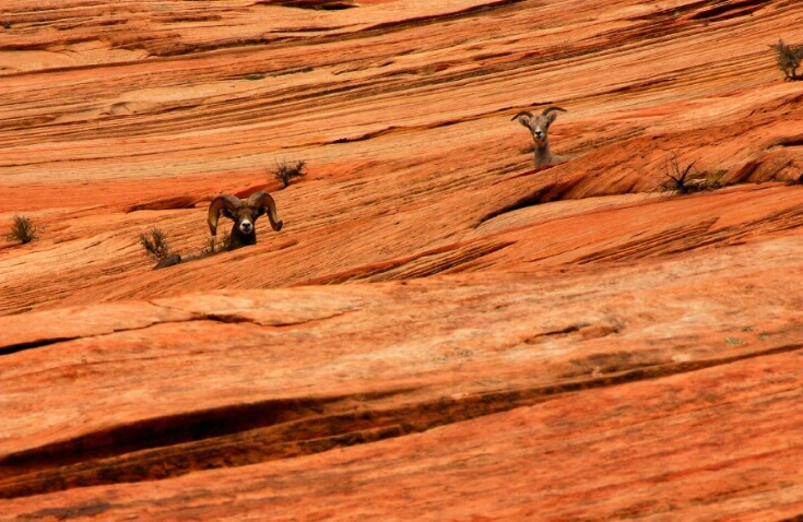 Ram and Ewe in Zion NP