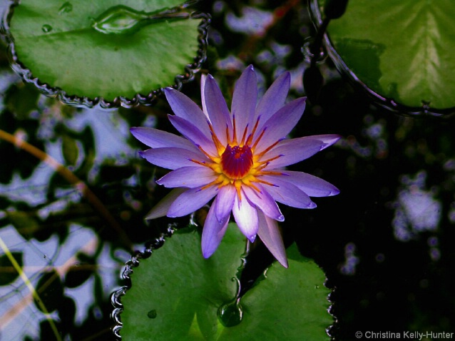 Mexico Water lily