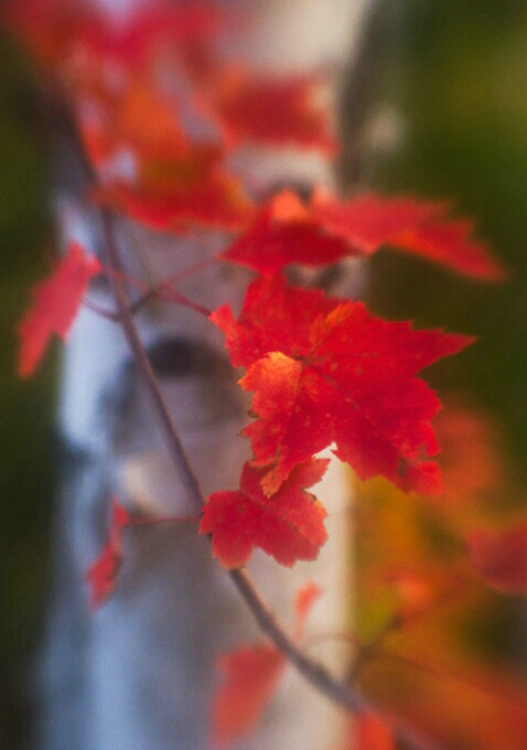 Red maple and birch, New Hampshire
