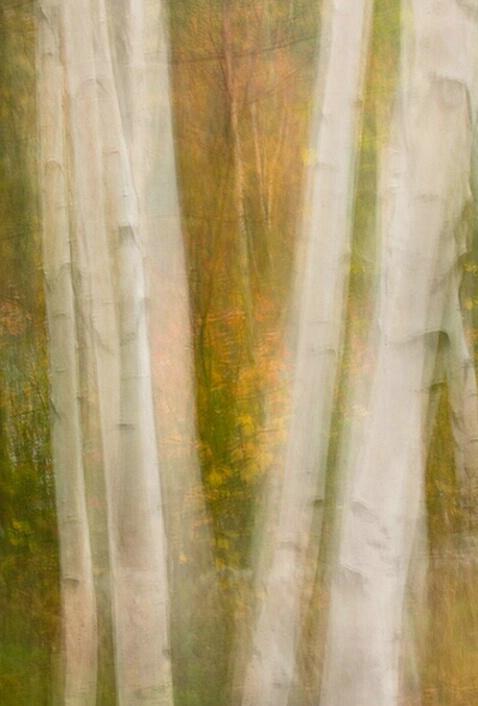 Birches, Multi exposure, New Hampshire