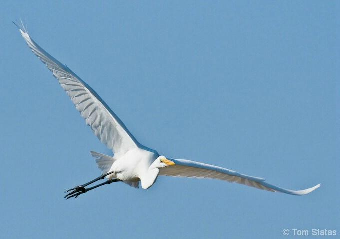 Great Egret at Assateague