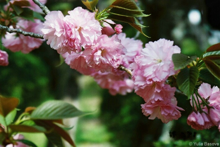 Sakura in Heian Shrine, Japan