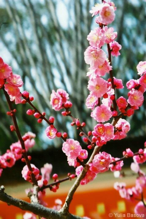 Plum blossoms in Kitano Tenmangu Shrine, Japan