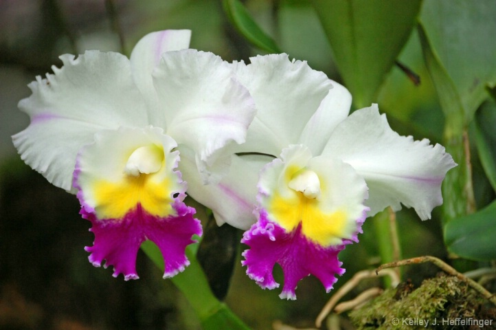 Ochids in Hawaii