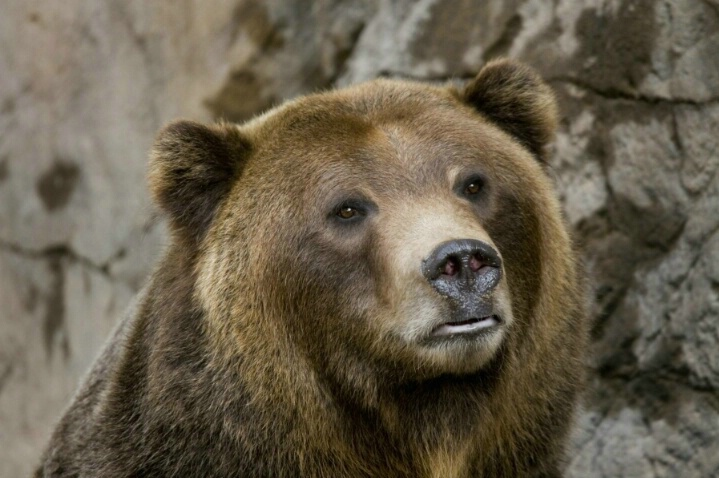 Colorado Brown Bear