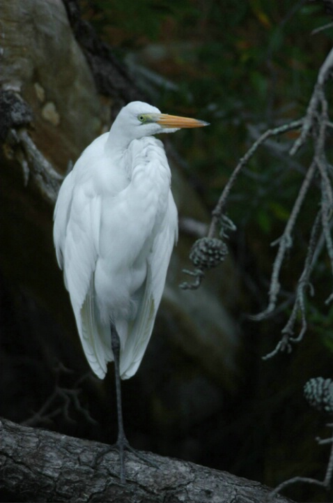 Great White Heron and Pines