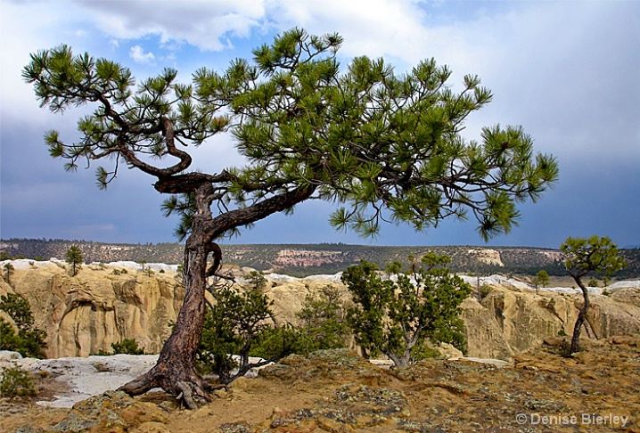 El Morro Tree