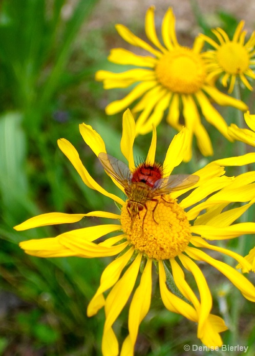 Red Fly on Flower