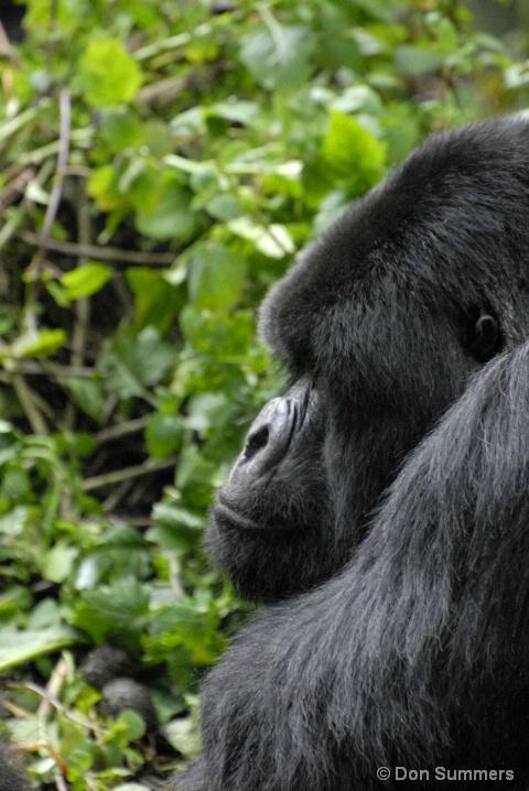 Silverback Mountain Gorilla, Rwanda, Africa 2007