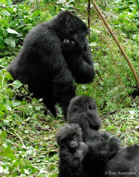 Mountain Gorillas, Rwanda, Africa 2007