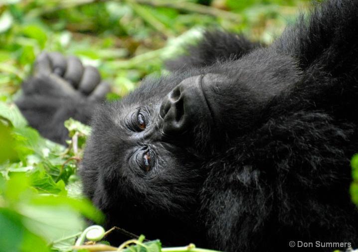 Mountain Gorilla, Rwanda, Africa 2007